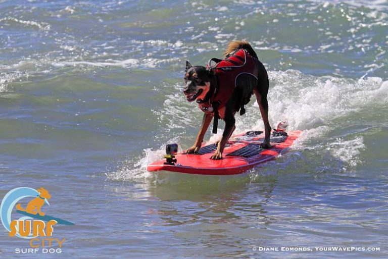 It's back! The Annual Unleashed by Petco™ Surf City Surf Dog® Competition