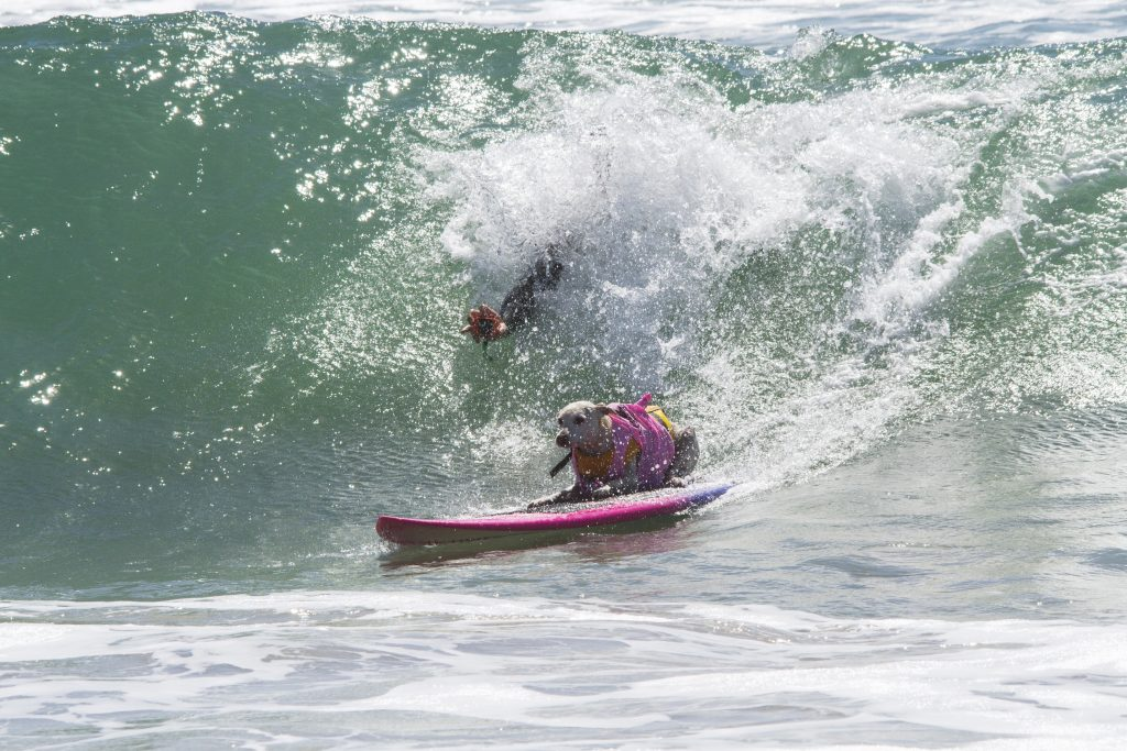Sugar the Surfing Dog, Huntington Beach